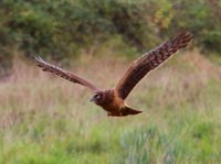 Northern Harrier. 1/1000 sec. f/5.6 194mm ISO 500