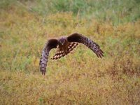 Northern Harrier. 1/1000 sec. f/5.6 160mm ISO 500